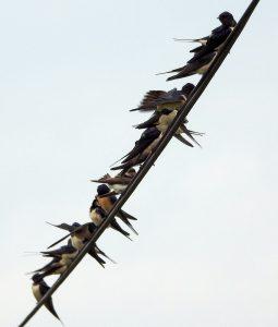 Barn Swallows – Moine Mhor, Mid-Argyll 08 May (Jim Dickson).