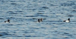 Greater Scaup & Tufted Duck - Ardrishaig Mid-Argyll 08 May (Jim Dickson).
