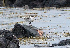 Juvenile Sandwich Tern – MSBO, Kintyre – 04 Jul (Eddie Maguire).