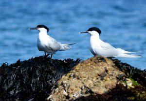 Sandwich Terns – MSBO, Kintyre 30 Apr (Eddie Maguire).