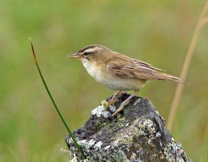 Sedge Warbler – Moine Mhor, Mid-Argyll 10 Jul (Jim Dickson).