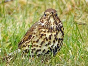 Song Thrush - Duntrune, Mid-Argyll 13 Mar (Jim Dickson).
