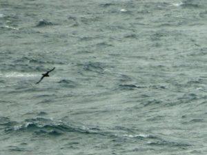 Sooty Shearwater - Oban-Barra 31 Aug (Jim Dickson).