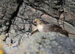 Sparrowhawk – MSBO , Kintyre 08 Apr (Eddie Maguire).