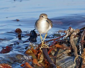 Spotted Sandpiper – Ard Mor, Tiree 18 Aug (Jim Dickson).