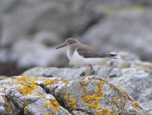 Spotted Sandpiper - Balephetrish Bay, Tiree 14 Aug (Dante Shepherd).