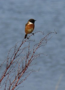 Common Stonechat - Keillmore (Loch Sween) 26 Feb (Andy Craven).