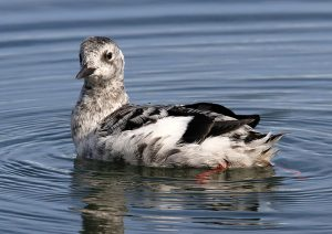 Black Guillemot - Campbeltown Harbour, Kintyre 09 Sep (Steve and Tracey Seal).