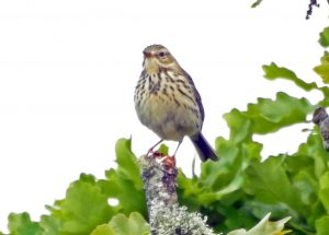 Tree Pipit - Duntrune, Mid-Argyll 29 May (Jim Dickson).