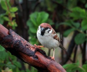 Tree Sparrow – Ardtun, Mull 17 May (Rebecca Burton).