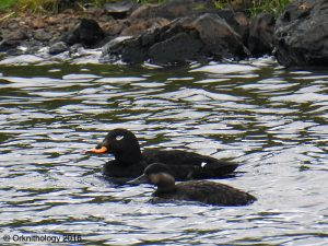 Velvet Scoter & Common Scoter – Easter Ellister, Islay 15 Jun (Kevin West).