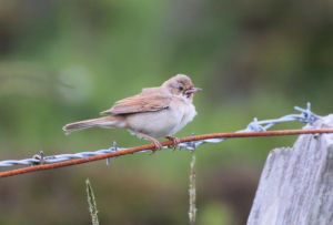 Common Whitethroat – Coll 19 Jun (per Davie Rutherford).