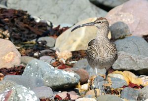 Whimbrel – MSBO, Kintyre 10 May (Eddie Maguire).