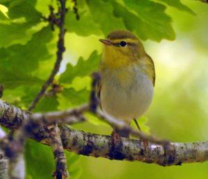 Wood Warbler - Taynish NNR, Mid-Argyll 28 May (Jim Dickson).