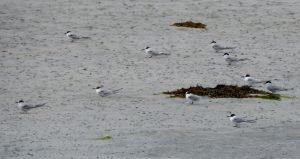 Arctic Terns – Gott Bay, Tiree 08 Jul (John Bowler).