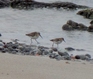 Curlew Sandpiper (left) – Hynish, Tiree 08 Sep (John Bowler).
