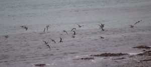 Curlew Sandpipers – The Green, Tiree 19 Aug (Dante Shepherd).