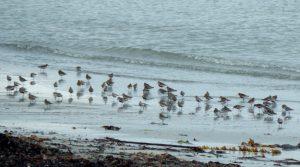 Dunlins - Vaul Bay, Tiree 23 May (John Bowler).