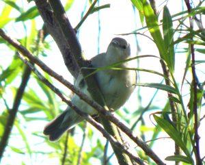 Garden Warbler– Balephuil, Tiree 28 May (John Bowler).