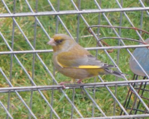 Greenfinch – Balephuil, Tiree 13 Apr (John Bowler).