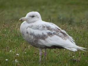 Glaucous Gull - Loch a' Phuill, Tiree 07 Jul (John Bowler).