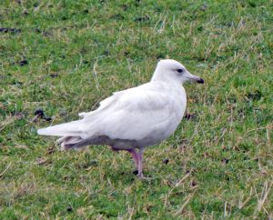 Iceland Gull -Barrapol, Tiree 14 Dec (John Bowler).