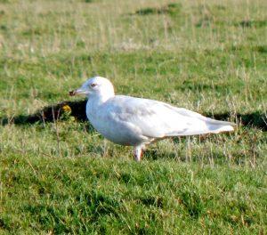 Iceland Gull - Tiree 20 Nov (John Bowler).