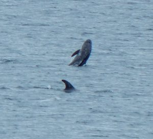 Risso's Dolphins – off The Green, Tiree 04 Jul (John Bowler).