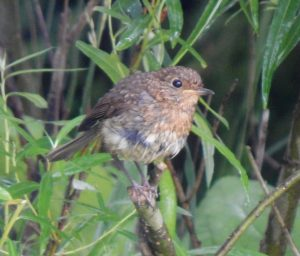 Juvenile Robin – Balephuil, Tiree 26 Jun (John Bowler).