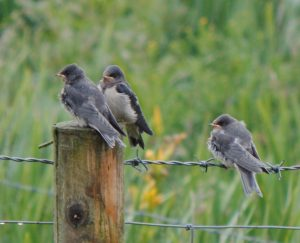Juvenile Barn Swallows – Balephuil, Tiree 26 Jun (John Bowler).