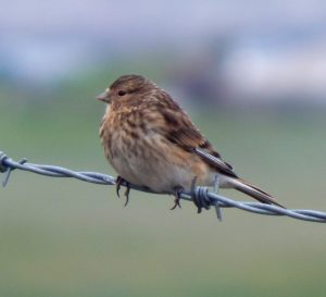 Juvenile Twite – Balephuil, Tiree 11 Jul (John Bowler).