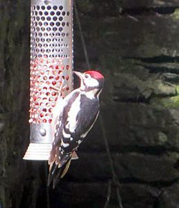 Juvenile Great Spotted Woodpecker - Poltalloch, Mid-Argyll 05 Aug (Fiorna Cairns Smith).