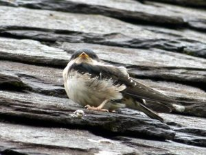 Juvenile House Martin - Otter Ferry, Cowal 03 Jul (Tom Callan).