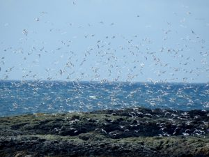Kittiwakes - Traigh Ghrianal, Tiree 27 Jun (John Bowler).