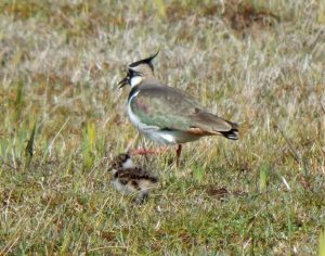Lapwing and chick – The Reef, Tiree 29 Apr (John Bowler).