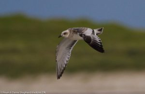 juvenile Mediterranean Gull – The Green, Tiree 19 Aug (Dante Shepherd).