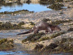 Otter – Keills (Loch Sween), Mid-Argyll (Kevin & Sue Richardson).