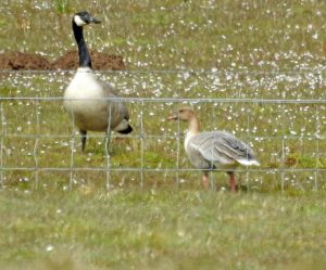 pale Pink-footed Goose – Barsloisnoch Farm, Mid-Argyll 01 May (Jim Dickson).