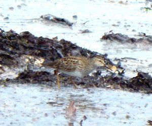 Pectoral Sandpiper - Sorobaidh Bay, Tiree 27 May (John Bowler).