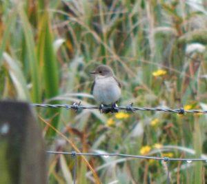Pied Flycatcher – Balephuil, Tiree 04 Sep (John Bowler).