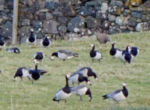 Barnacles and a Pink-footed Goose- Tiree 24 Nov (John Bowler).