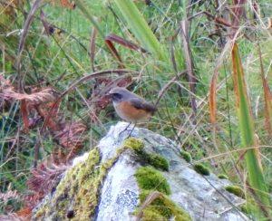 Common Redstart Carnan Mor, Tiree 24 Sep (John Bowler).