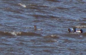 Greater Scaup - Loch an Eilein, Tiree 26 Apr (John Bowler).
