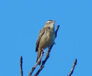 Sedge Warbler – Balephuil, Tiree 10 May (John Bowler).