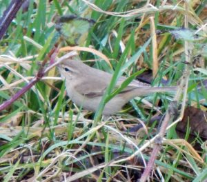 'Siberian' Chiffchaff - Tiree 3 Dec (John Bowler).