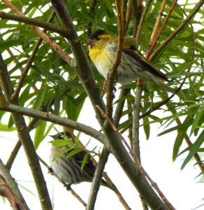 Siskins – Balephuil, Tiree 29 May (John Bowler).