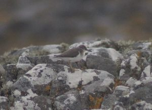 Spotted Sandpiper – Ard Mor, Tiree 17 Aug (Dante Shepherd).