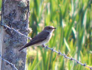 Spotted Flycatcher – Balephuil, Tiree 09 May (John Bowler).