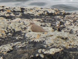 Spotted Sandpiper – Ard Mor, Tiree 17 Aug (John Bowler).