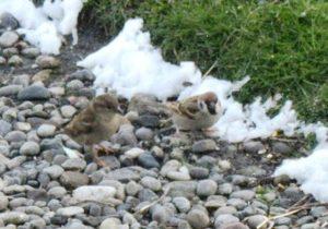 Tree Sparrow – Baugh, Tiree 28 Apr (Bill Welstead).